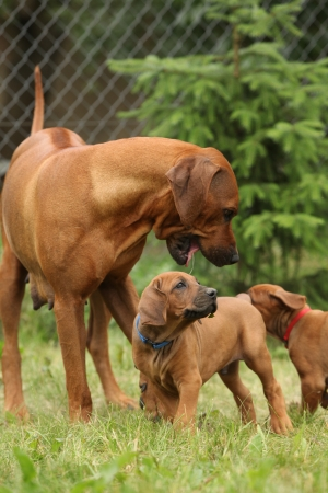 bitch: Rhodesian ridgeback bitch playing with puppies all around
