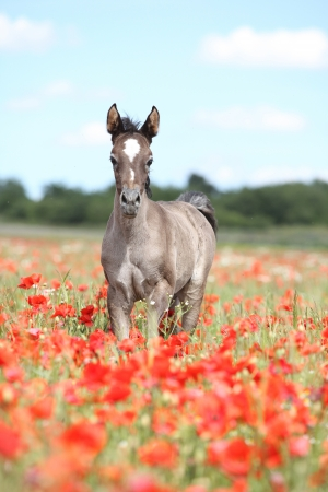 Leuke Arabische veulen lopen in rode papaver veld met blauwe hemel Stockfoto