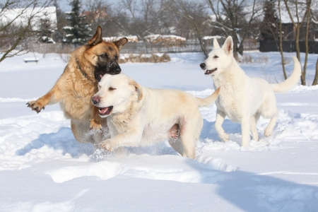 Three playing dogs  German shepherd, Swiss shepherd and Labrador retriever  in winter