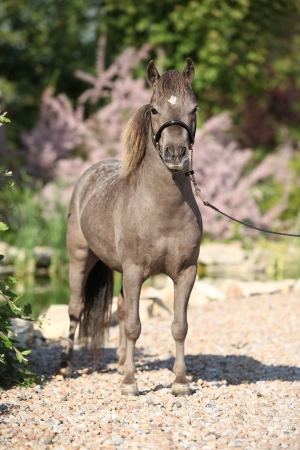 American miniature horse stallion posing in the garden photo