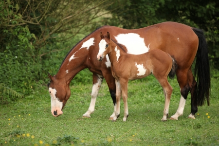 pasturage: Paint horse mare with adorable foal on pasturage in summer