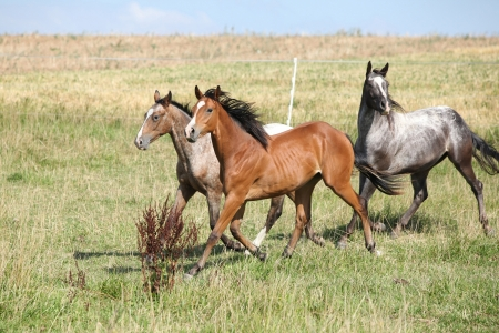 Three appaloosa horses running on pasturage in summer
