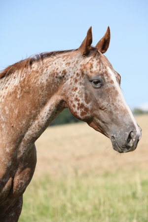 Portrait of nice appaloosa mare on pasturage in summer Stock Photo