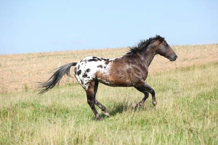 Perfect appaloosa stallion running on beautiful pasturage in summer photo