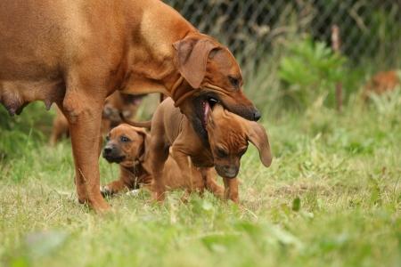 bitch: Rhodesian ridgeback educar perra cachorro cachorro mientras otro est� mirando