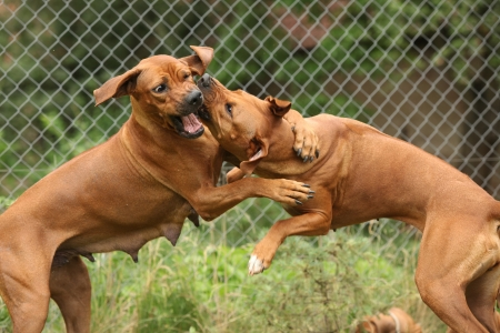 Two Rhodesian ridgeback bitches fighting with each other Stock Photo