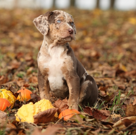 Adorable Louisiana Catahoula puppy with pumpkins in Autumn
