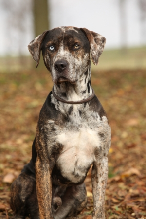 Beautiful Louisiana Catahoula dog sitting in Autumn