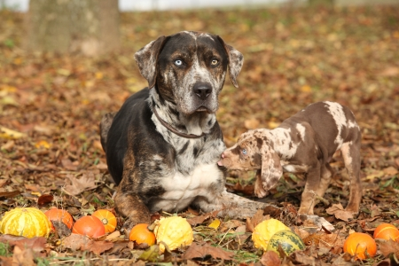 Louisiana Catahoula dog with adorable puppy in autumn Stock Photo