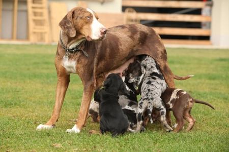 puta: Louisiana Catahoula perra con cachorros en la hierba