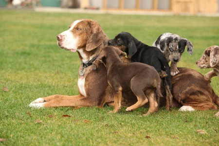 bitch: Louisiana Catahoula bitch with puppies on the grass