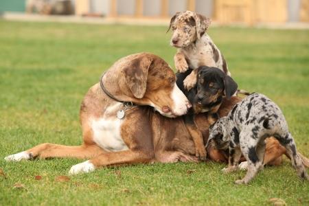bitch: Louisiana Catahoula perra con cachorros en la hierba
