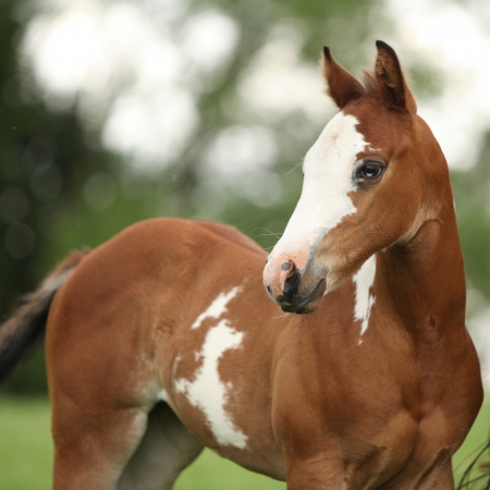 filly: Portrait of nice Paint horse filly with blue eye in summer Stock Photo