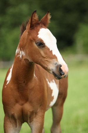 filly: Portrait of nice Paint horse filly in front of green background Stock Photo