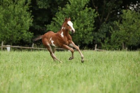 filly: Nice Paint horse filly running on pasturage in summer