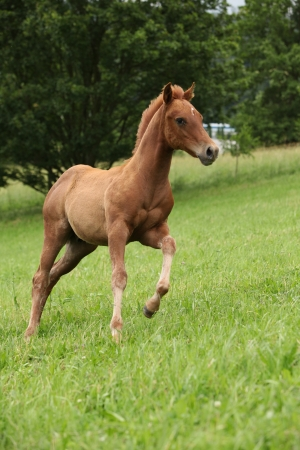 filly: Filly of sorrel solid paint horse running in summer