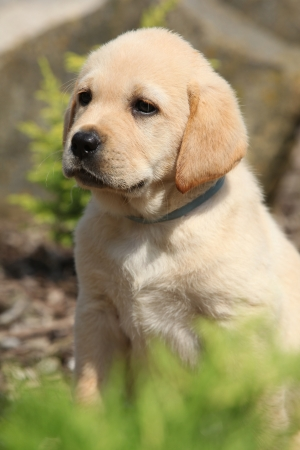 Portrait of adorable labrador retriever puppy behind a bush photo