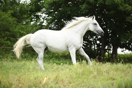 warmblood: White czech warmblood running on pasturage in summer Stock Photo