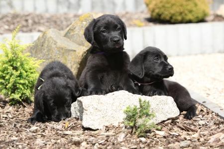Three black labrador retriever puppies on stone in beautiful garden photo