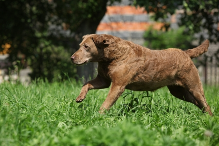 vigilant: Brown Chesapeake Bay Retriever running in garden