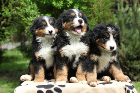 berner: Three Bernese Mountain Dog puppies sitting on blanket