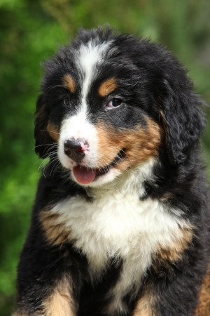 inaction: Portrait of Bernese Mountain Dog puppy with green background