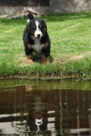Bernese Mountain Dog puppy near water in the garden photo