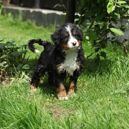 Bernese Mountain Dog puppy standing in the garden photo