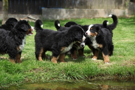 Group of Bernese Mountain Dog puppies in the garden photo