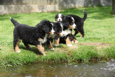 Group of Bernese Mountain Dog puppies near the water photo