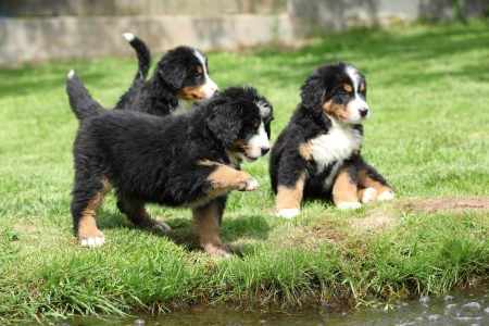 Three Bernese Mountain Dog puppies playing photo