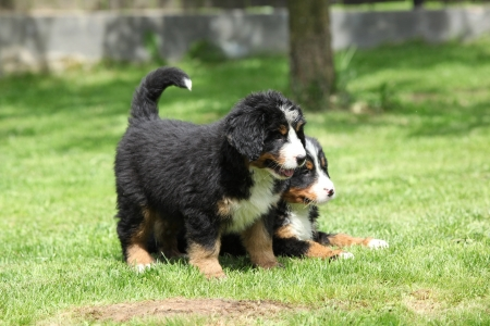 Two Bernese Mountain Dog puppies lying in the garden photo