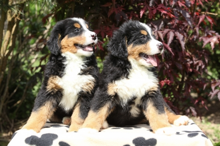 Two Bernese Mountain Dog puppies sitting on blanket in front of dark red leaves photo