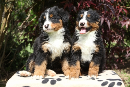 Two Bernese Mountain Dog puppies smiling and sitting on blanket in front of dark red leaves photo