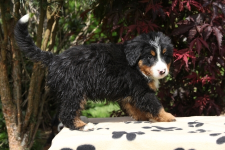 Bernese Mountain Dog puppy standing on blanket in front of dark red leaves photo