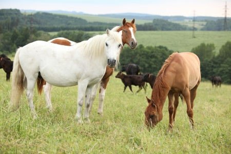 inaction: Batch of horses resting on pasturage in summer
