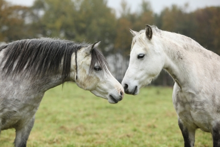 Grey and white welsh mountain ponnies in autumn photo