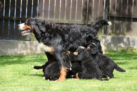 Eating puppies of Bernese Mountain Dog in the garden photo