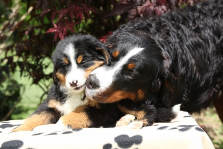 Bernese Mountain Dog with puppy on blanket in front of dark red leaves photo