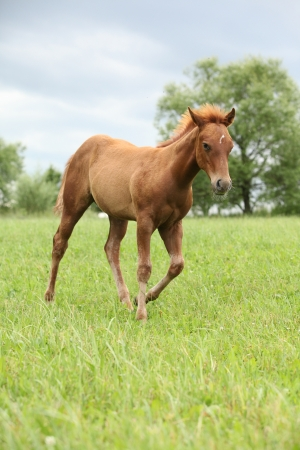 filly: Filly of sorrel solid paint horse running before a storm
