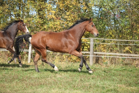 warmblood: Warmblood horses running on pasturage in autumn Stock Photo