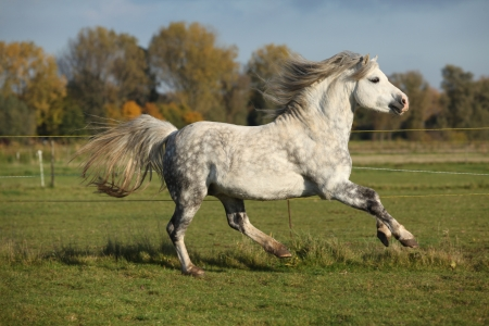 grizzle: Welsh mountain pony stallion galloping on pasturage in autumn