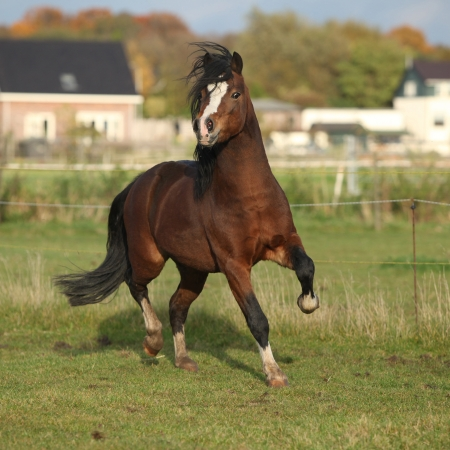 Brown welsh mountain pony stallion with black hair galloping in autumn Stockfoto