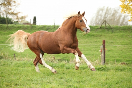 pasturage: Chestnut welsh pony with blond hair running on green grass