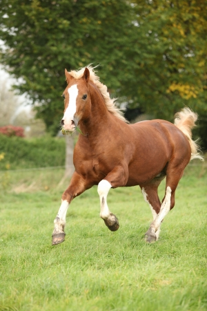 Chestnut welsh pony with blond hair running on green grass