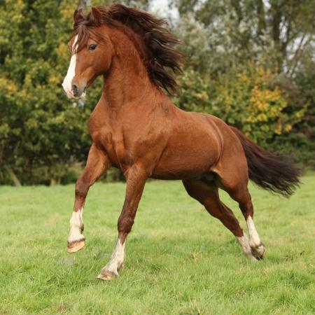 Mooie kastanje welsh pony hengst springen op weide in de herfst Stockfoto