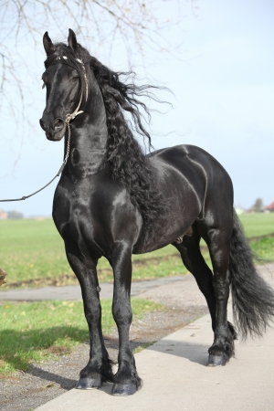 bridle: Gorgeous friesian stallion with long hair and white bridle Stock Photo