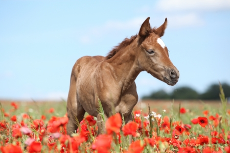 Arabian foal in red poppy field in spring photo