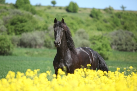 Young friesian horse running behind colza field in spring