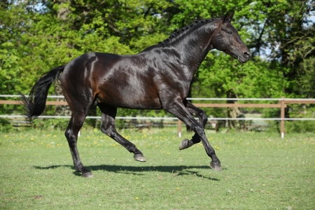 warmblood: Nice black dutch warmblood stallion running on pasturage Stock Photo